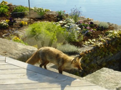 Visiting Red Fox